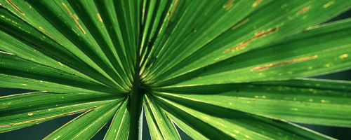 Palm_Prod_leaves-500x200